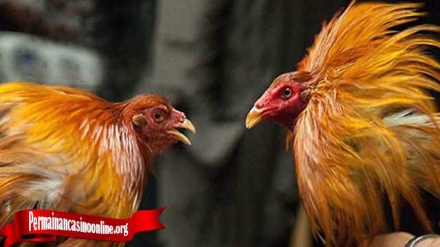 Beberapa Sifat-Sifat Dari Ayam Tarung