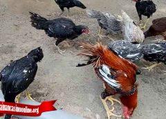 Gunakan Trik Ini Jika Ingin Ternak Ayam Tarung