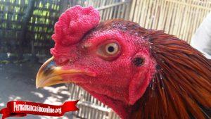 Penting Beri Perhatian Pada Ayam Yang Akan Bertanding