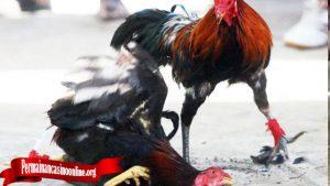 Teknik Mematikan Ayam Bangkok Teknik Bongkar
