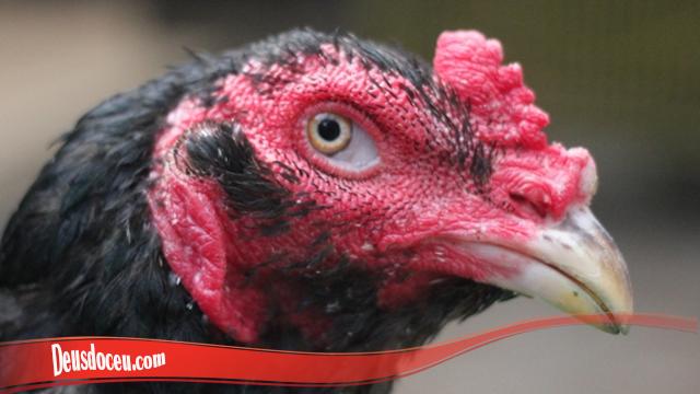 Ciri Dari Ayam Brewok Sesunggunya S128