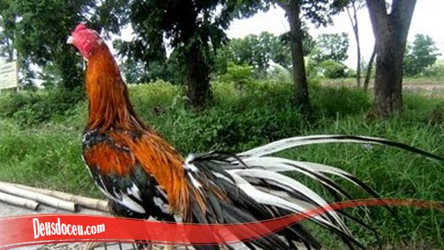 Pengalaman Melebatkan Bulu Ayam SV388 Kembali