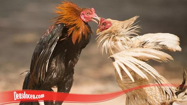 Pengalaman Tingkatkan Mental Ayam S128
